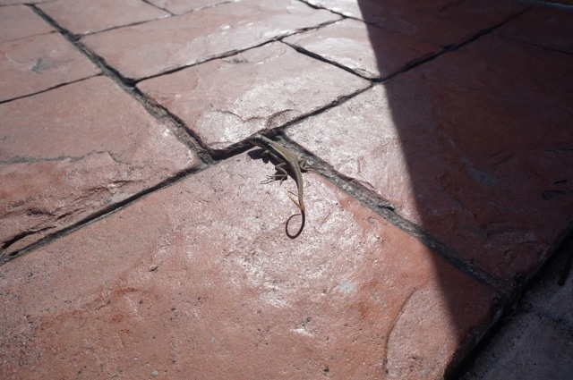 Lizard - Turks and Caicos