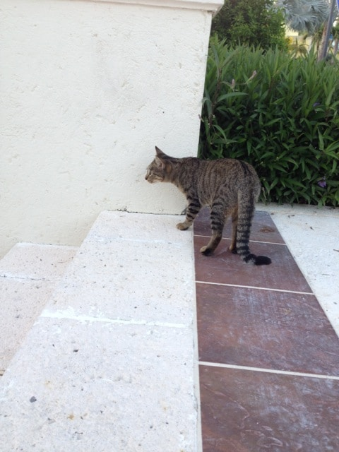 Cat - Turks and Caicos