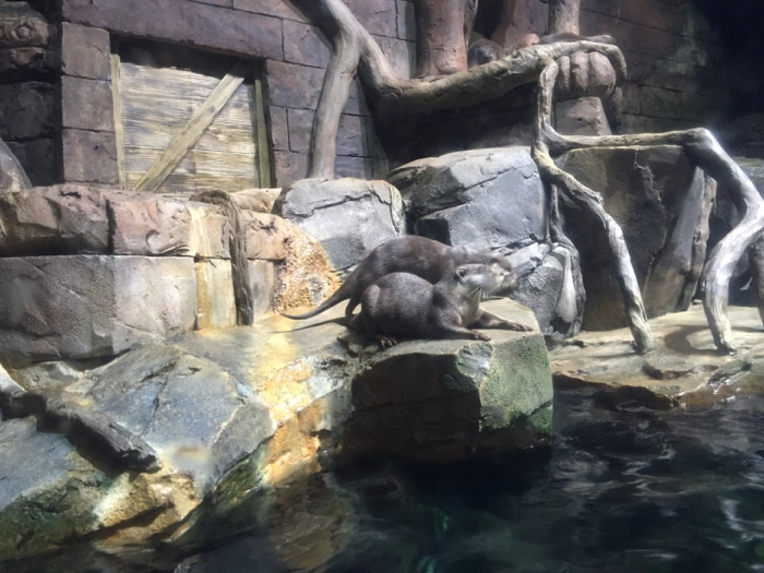 Asian river otters - Georgia Aquarium