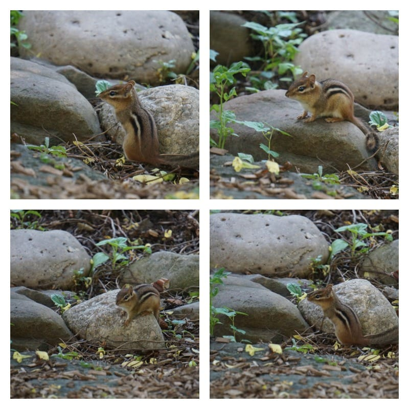 Chipmunks at Hershey Gardens