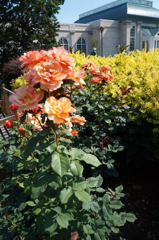Roses in bloom at the Hershey Gardens