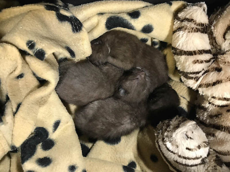 10-day-old-kittens