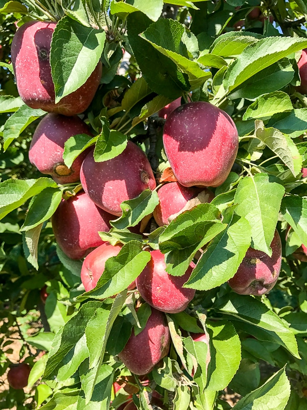 Boyer Orchard apples