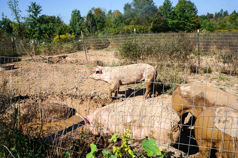 Rambling River Farm - pigs