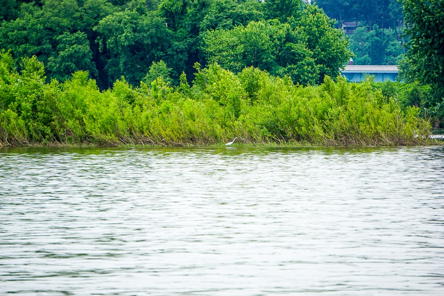 Snowy egret spotted on our Pride of Susquehanna cruise