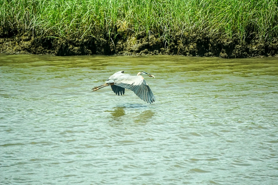 Great Blue Heron finds dinner at Bombay Hook Wildlife Refuge
