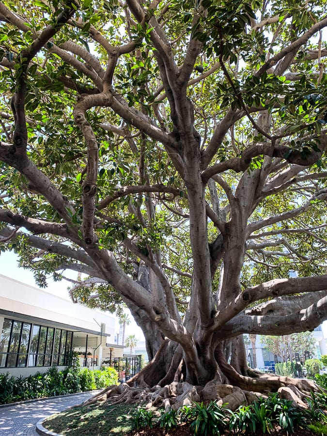 140 year old fig tree